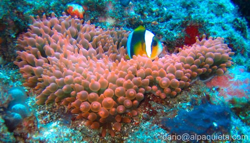 Subacquea alpaquieta for Pesce pagliaccio foto